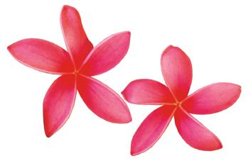 Plumeria clipart Pink Plumeria Plumeria Clipart cliparts
