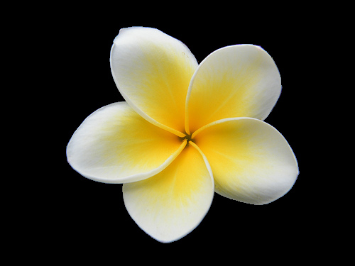 Yellow clipart plumeria Plumeria cover book Clipart Animated