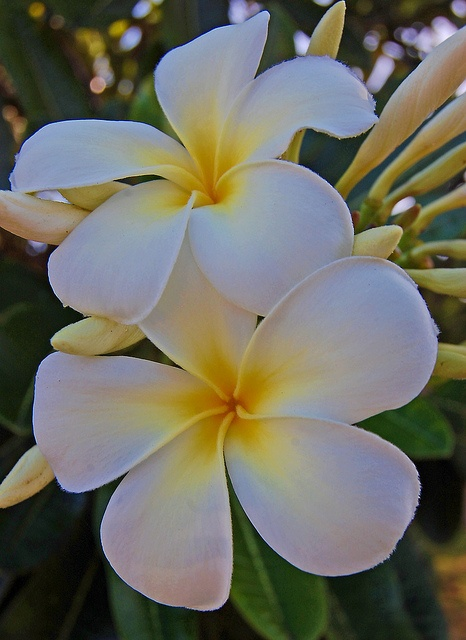 Plumeria clipart black floral Loved the the I images
