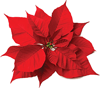 Poinsettia clipart beautiful christmas Flower Central of
