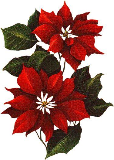 Poinsettia clipart noche buena CHRISTMAS Poinsettia Poinsettia Poinsettia Holiday