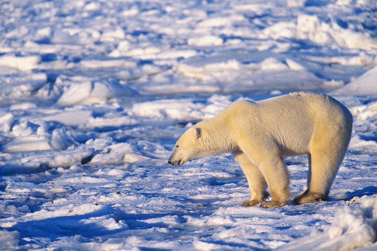 Arctic clipart adaptation Adaptations art image clip
