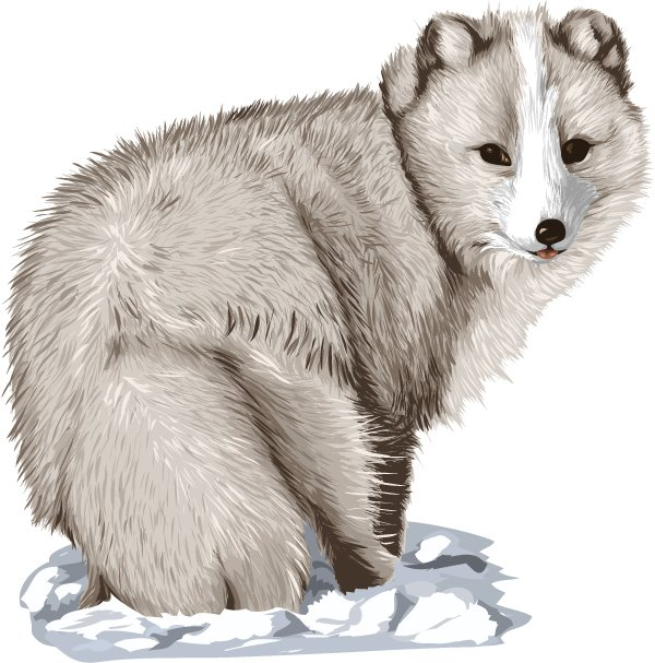 Polar Fox clipart #11
