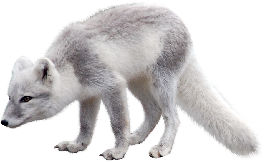 Polar Fox clipart artic Fox Arctic PNG Arctic fox