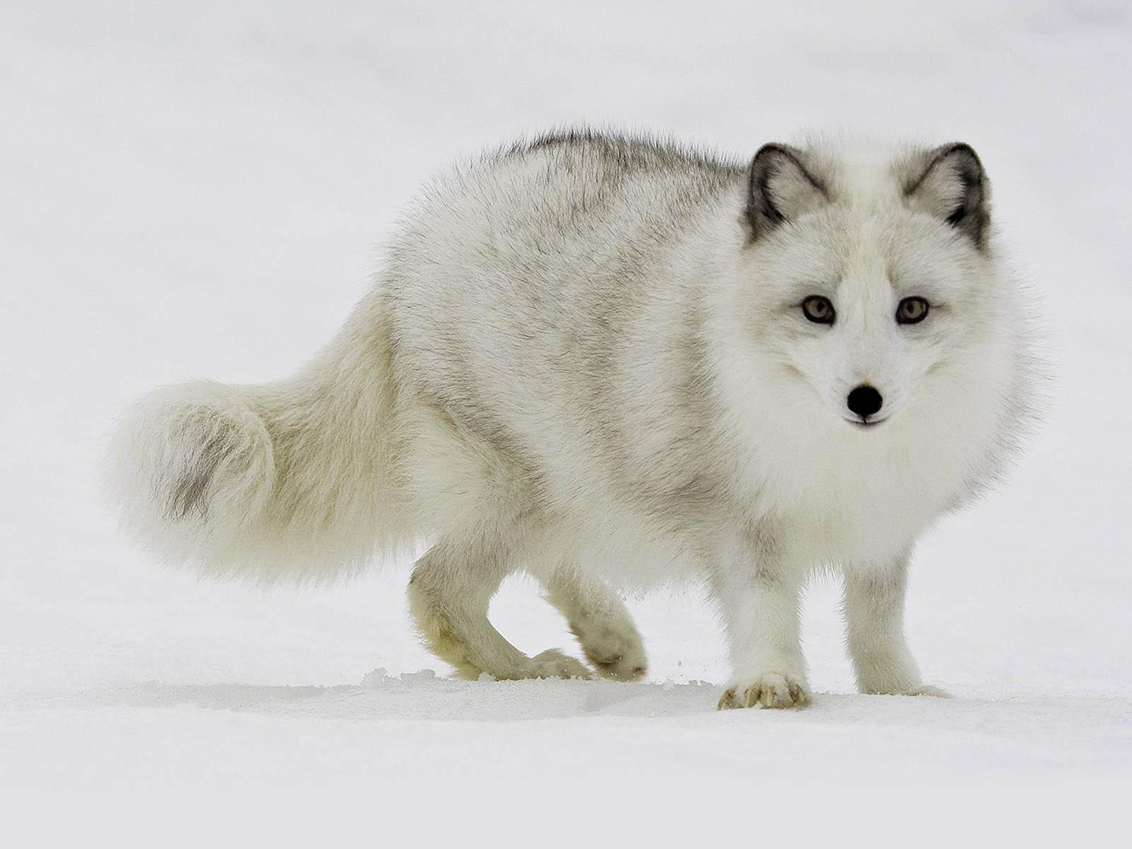Polar Fox clipart artic Arctic Arctic family photo#15 fox