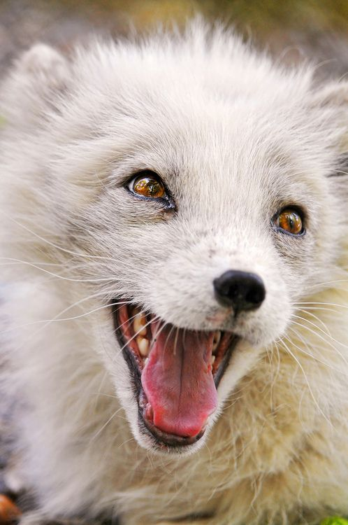 Arctic Fox clipart male On **Another (by polar of