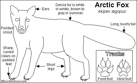 Polar Fox clipart printable Pages Arctic baby animals page