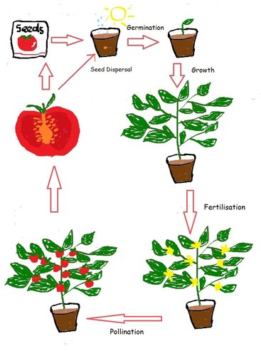 Seed clipart plant life cycle Tomato plant Teaching by Life