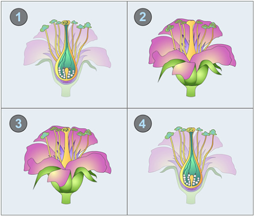 Polynesia clipart pollination Pollination chain chronological recap and