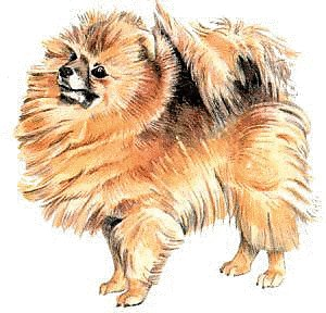 Pomeranian clipart Pomeranian Photos and Graphics Clipart