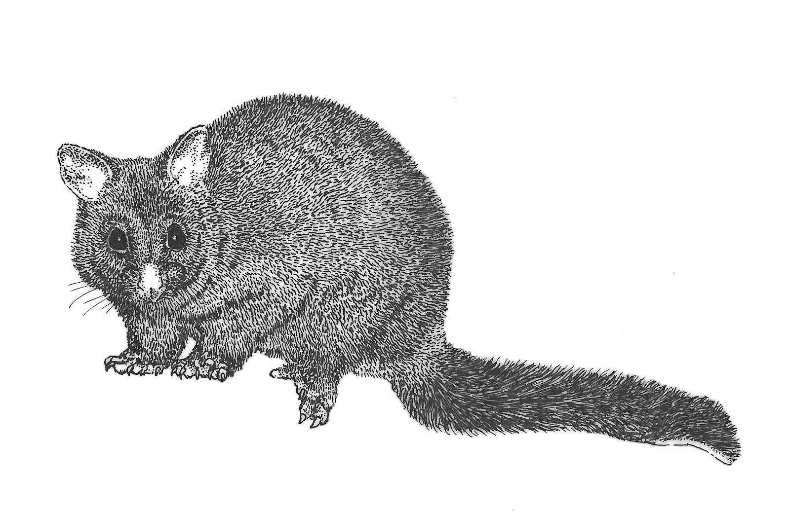 Possum clipart Download 2 clipart art WikiClipArt