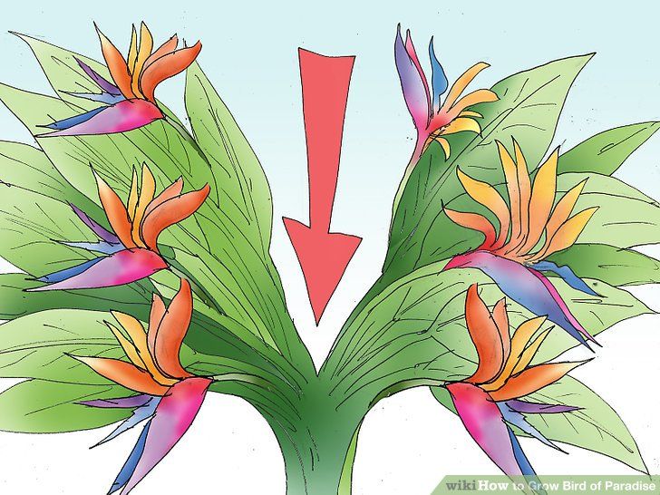 Bird Of Paradise clipart flying paradise Step Pictures) Paradise titled (with