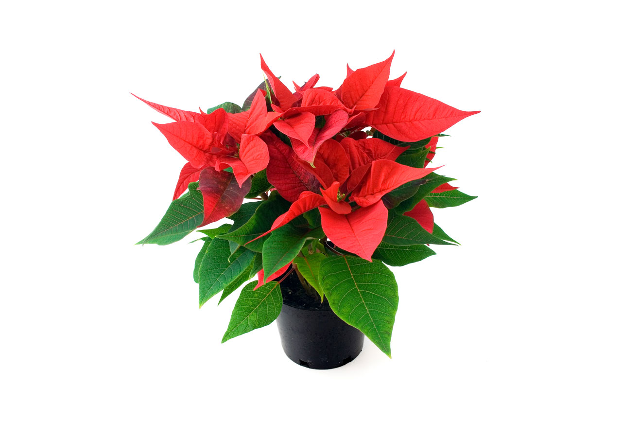 Poinsettia clipart christmas tree branches Public Domain Pictures Poinsettia Free