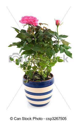 Pink Rose clipart rose bush Bush rose pot Pink in