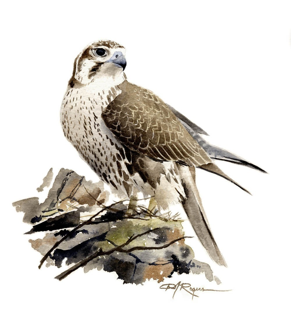 Prairie Falcon clipart Painting Falcon painting Falcon photo#9