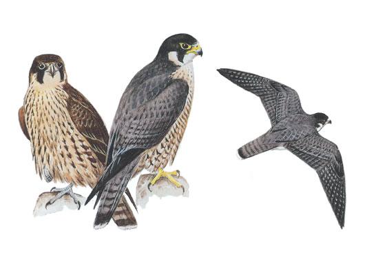 Prairie Falcon clipart #7