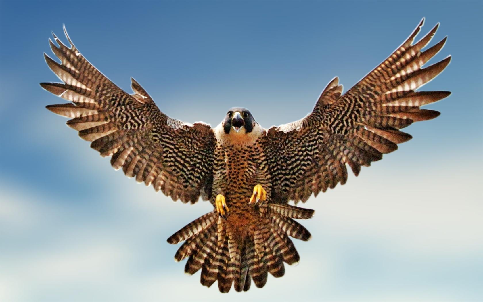 Bird Of Prey clipart red Falcons Pinterest Blue Falcon Falcon