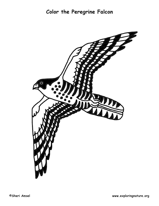 Peregrine Falcon clipart coloring By Peregrine Falcons Falcons