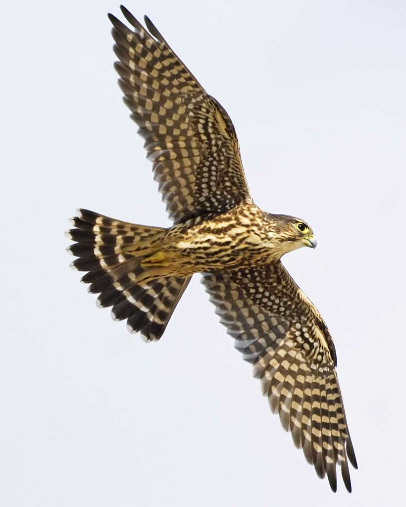 Bird Of Prey clipart vector Juvenile adult male; Guide Merlin