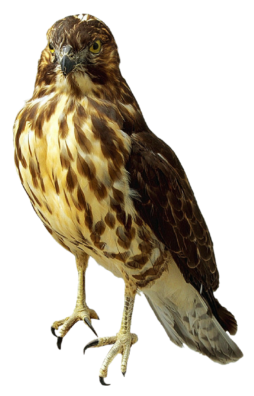 Peregrine Falcon clipart cartoon Falcon Transparent All Advertisement Images
