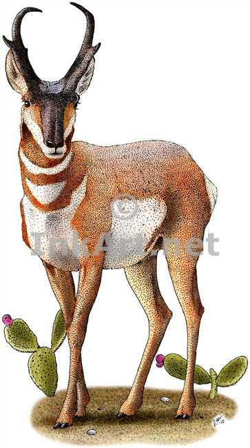Pronghorn Antelope clipart Antelope Pronghorn Pronghorn Drawing Antelope