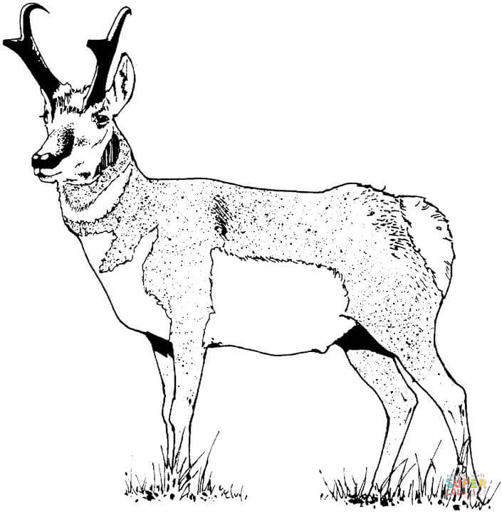 Pronghorn Antelope clipart Pronghorn Free Pronghorn Pages Coloring