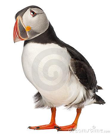 Puffin clipart Puffin #18 Fans Clipart #53