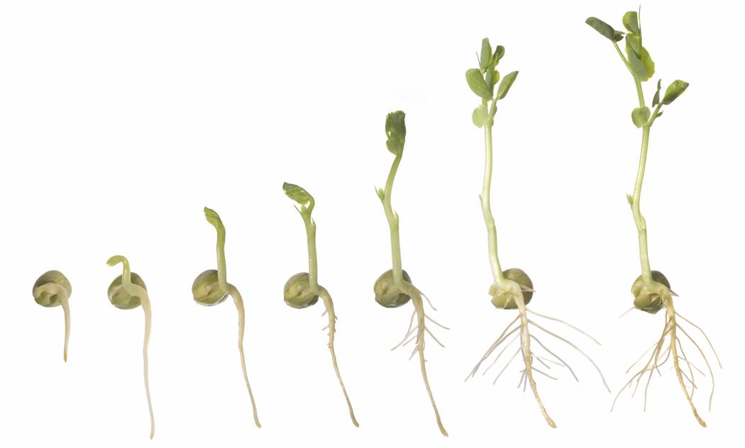 Beans clipart germination In Clear growing enjoy enjoy