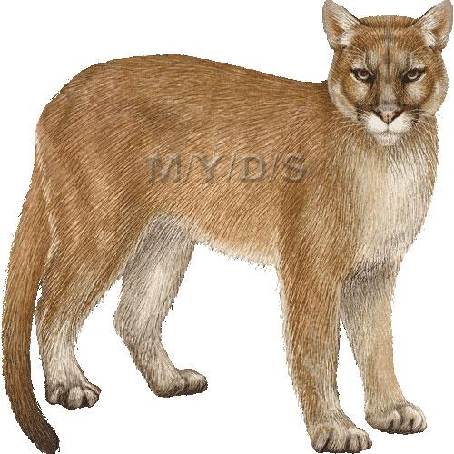 Puma clipart / Large clipart (Free (Puma