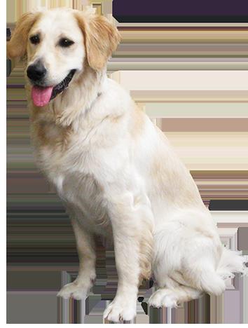 Retriever clipart pet animal #2