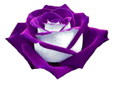 Purple Rose clipart Clipart Purple Art Roses clip