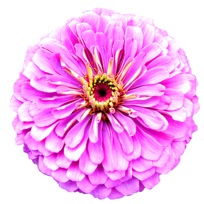Pink Flower clipart real Light Images Images Purple Stock
