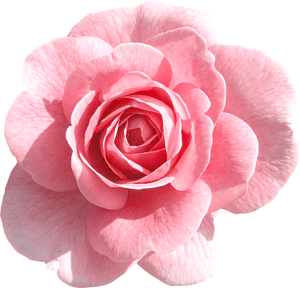 Rose clipart png tumblr #4