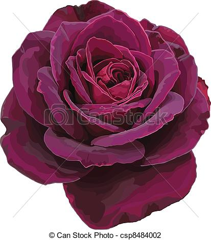 Drawn red rose purple rose A on Vector Illustration Purple