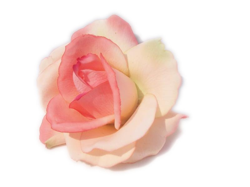Pink Flower clipart real Rose Art Real Purple Free