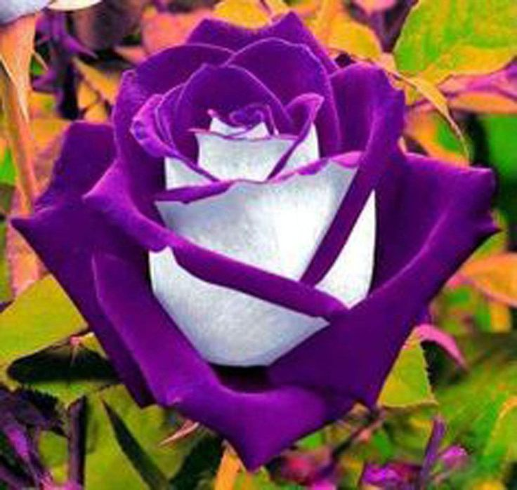 White Rose clipart living thing Ideas Rose purple flowers Pinterest