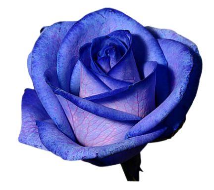 Purple Rose clipart transparent background Pinterest flowers and transparent