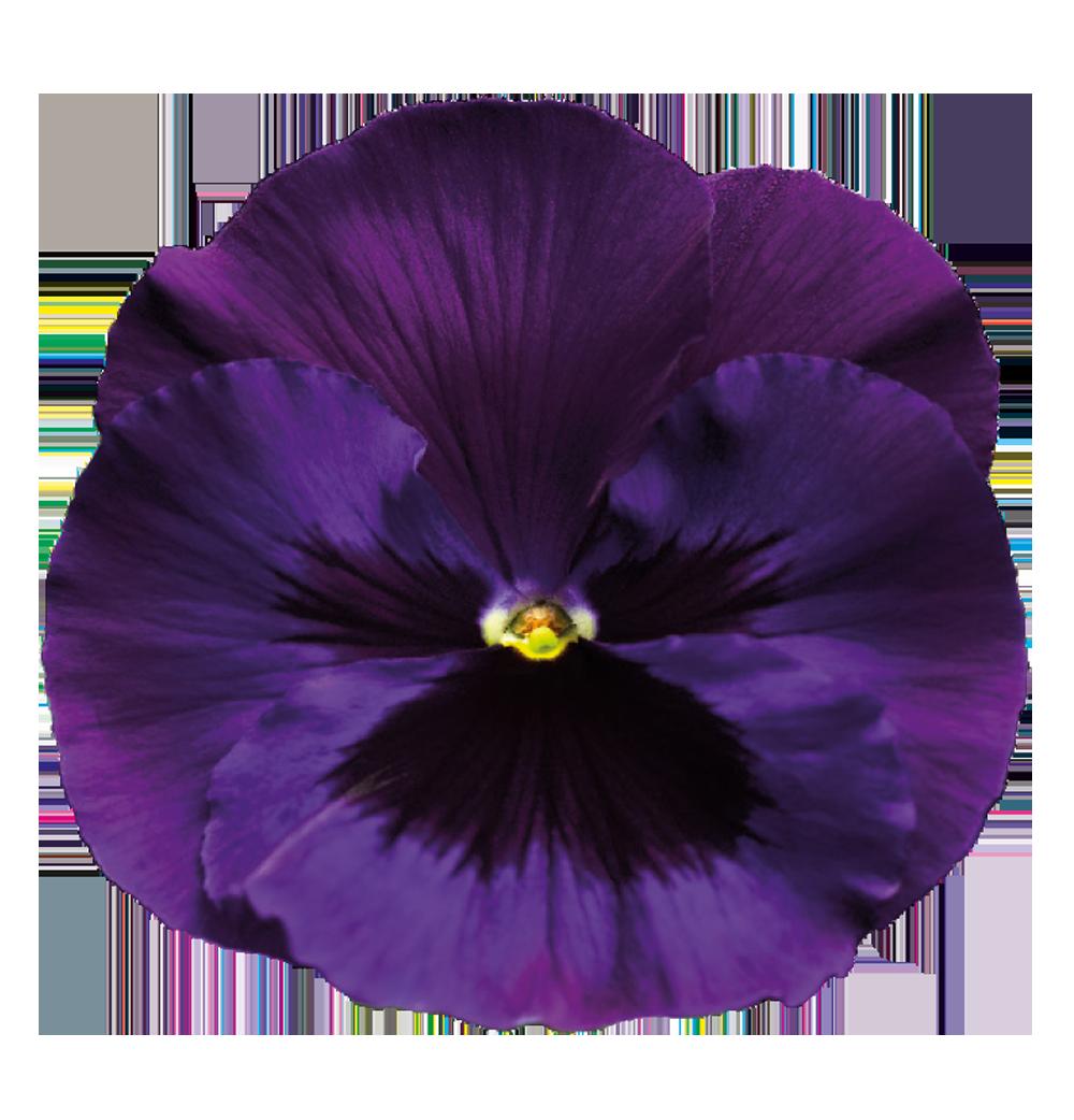Purple Rose clipart transparent background Transparent Background PNG Transparent Violet