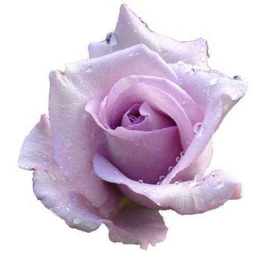 Purple Rose clipart transparent background Google no Flowers 16 Pinterest