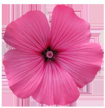 Purple Rose clipart transparent background Flower flower Floral Gallery Art