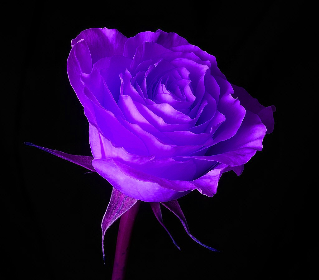 Purple Rose clipart wallpaper Yopriceville rose purple size Gallery
