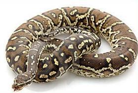 Python clipart Python Clipart reptiles python Free