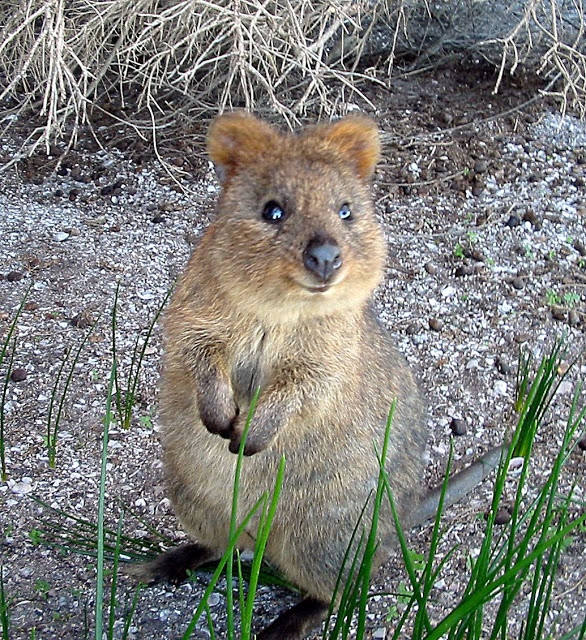 Quokka clipart Wombat part koala wombat ideas