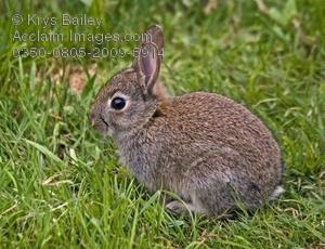 Rabbit clipart wild rabbit #11