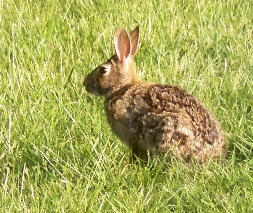 Rabbit clipart wild rabbit #12