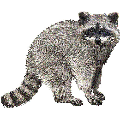 Raccoon clipart Clipart Pictures 5 Clipart Free