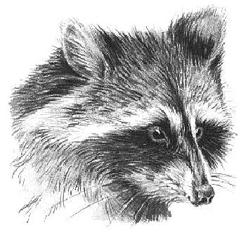 Raccoon clipart face Raccoon of Free Art Free