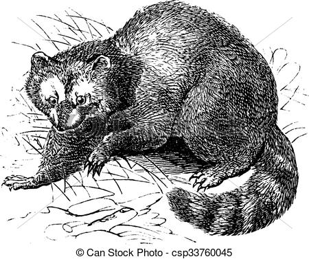 Raccoon clipart face Or Vector lotor lotor