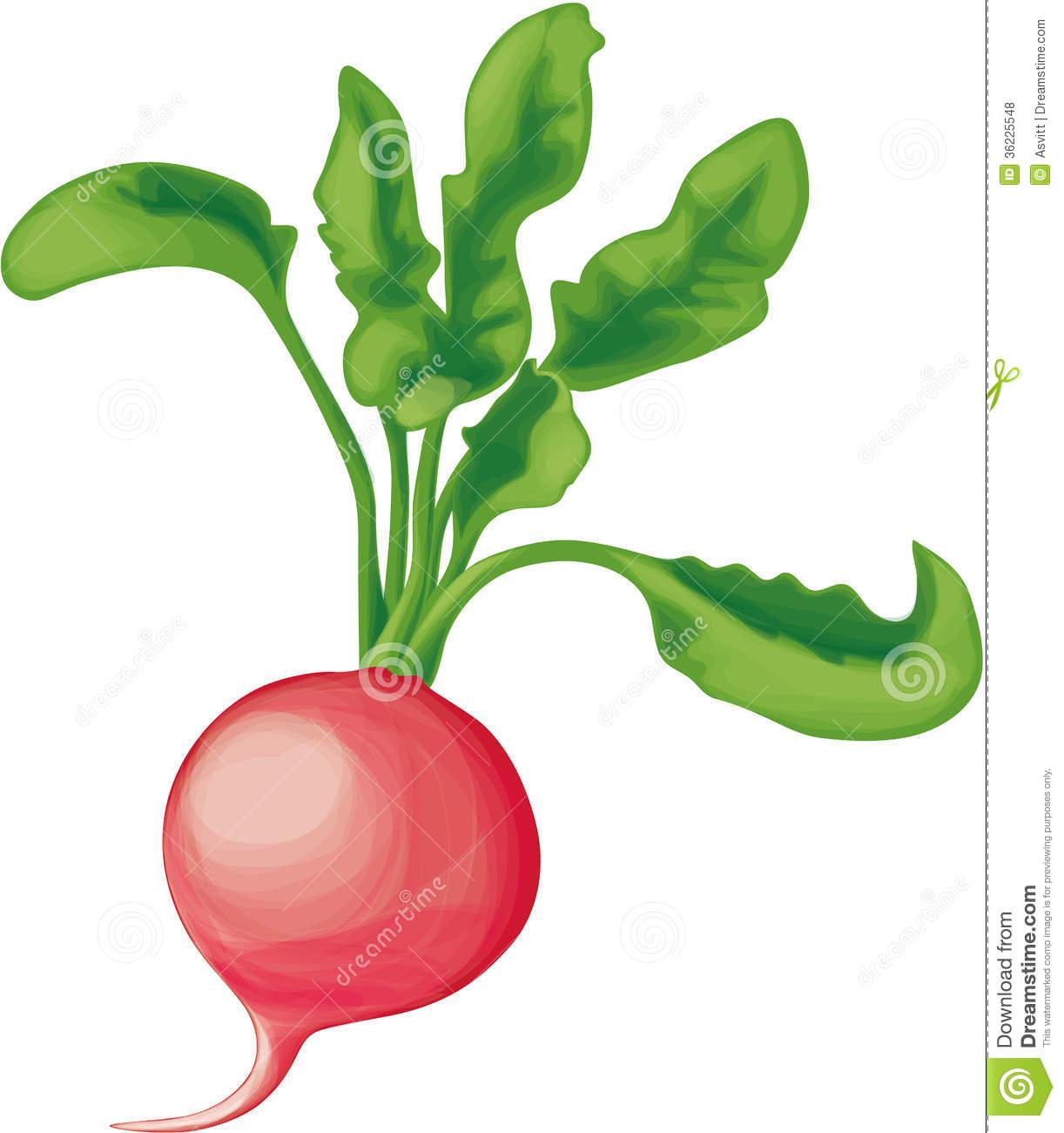 Radish clipart Clipart  About drawing radish