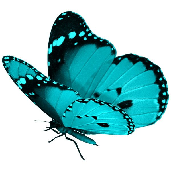Turquoise clipart beautiful butterfly #5